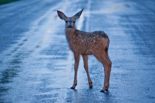 what to do if you've had a car accident due to an animal on the road - car accident lawyer - definace napoleon wauseon ohio - arthur law firm